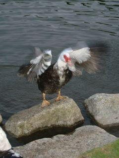 Duckie 1