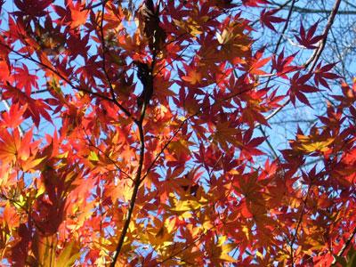 Autumn leaves in Tsukuba
